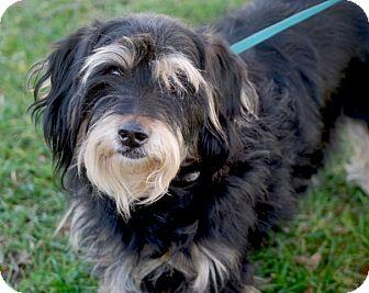 Yorkie, Yorkshire Terrier/Toy Poodle Mix Dog for adoption in Sacramento, California - Tubby ADOPTION PENDING