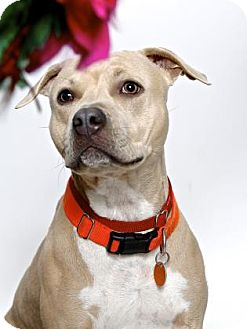 American Pit Bull Terrier Mix Dog for adoption in Gloucester, Virginia - MIMI