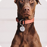 Adopt A Pet :: Ranger - Portland, OR