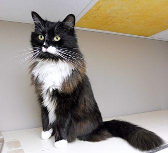 Domestic Longhair Cat for adoption in Creston, British Columbia - Zoe