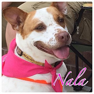 Pointer/Jack Russell Terrier Mix Dog for adoption in High Point, North Carolina - Nala