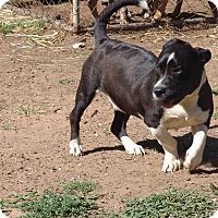 Adopt A Pet :: Stan - Joshua, TX