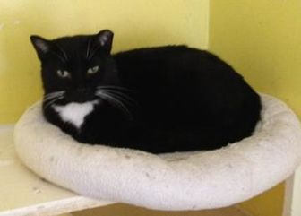 Domestic Shorthair/Domestic Shorthair Mix Cat for adoption in Jacksonville, Florida - Kerry 0286