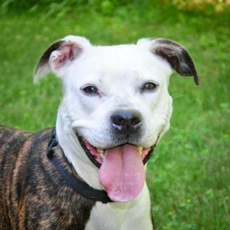 American Pit Bull Terrier Mix Dog for adoption in Jefferson, Iowa - Sophia