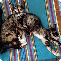 Calico Kitten for adoption in New Orleans, Louisiana - Mazi & Electra