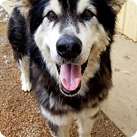 Adopt A Pet :: Andre the Giant - Aurora, CO
