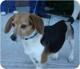 Beagle Dog for adoption in Waldorf, Maryland - Chance Mann