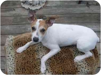 Jack Russell Terrier Mix Puppy for adoption in Rochester, New Hampshire - Candy