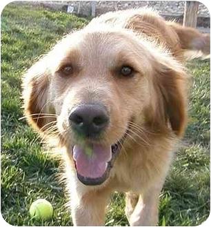 Golden Retriever Dog for adoption in Meridian, Idaho - Cider