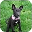 Photo 1 - Terrier (Unknown Type, Small)/Labrador Retriever Mix Puppy for adoption in Broomfield, Colorado - POOH