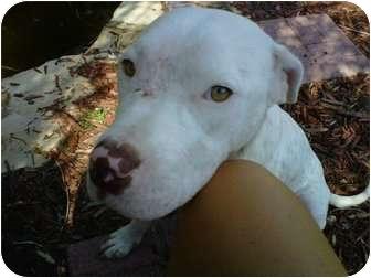 American Staffordshire Terrier/Catahoula Leopard Dog Mix Puppy for adoption in Orlando, Florida - Bella