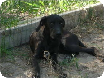Great Dane/Black Mouth Cur Mix Puppy for adoption in Pointblank, Texas - Hannah