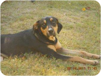 Rottweiler/Labrador Retriever Mix Dog for adoption in Williston, Vermont - Chevy
