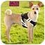 Photo 2 - Whippet/Basenji Mix Dog for adoption in Marina del Rey, California - Poindexter