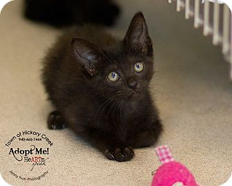 Domestic Shorthair Kitten for adoption in Hickory Creek, Texas - Charlie