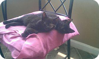 Domestic Shorthair Kitten for adoption in Xenia, Ohio - Martin & Maxine