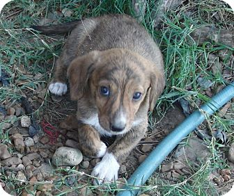 Mountain Cur/Dachshund Mix Puppy for adoption in Melbourne, Arkansas - Tugger