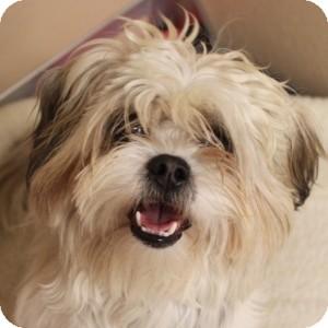 Shih Tzu/Yorkie, Yorkshire Terrier Mix Dog for adoption in Naperville, Illinois - Skip