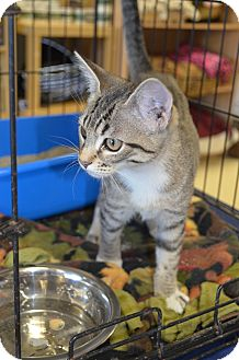 Domestic Shorthair Kitten for adoption in Houston, Texas - Attie