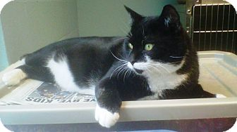 Domestic Shorthair Cat for adoption in Union, New Jersey - Ringo Starr