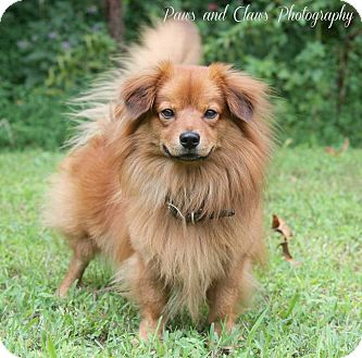 Dachshund/Pomeranian Mix Dog for adoption in Hatifeld, Pennsylvania - Chipper