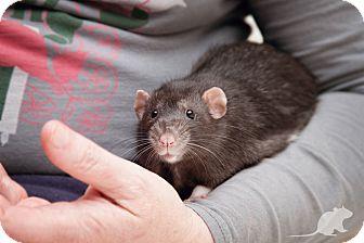Rat for adoption in Boise, Idaho - Domino