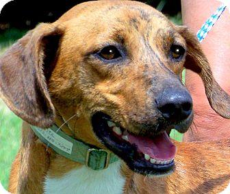Vizsla Dog for adoption in Wakefield, Rhode Island - FRITZ(AKC TRAINED--SO SMART!!