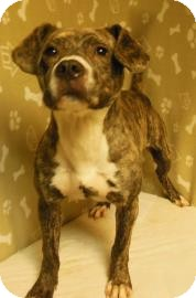 Pit Bull Terrier Mix Puppy for adoption in Gary, Indiana - Toby