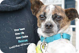 Chihuahua Mix Dog for adoption in Kimberton, Pennsylvania - Victoria