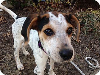 Coonhound/Beagle Mix Puppy for adoption in Baltimore, Maryland - Ash