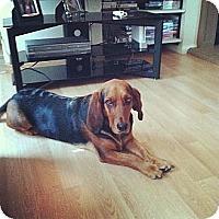 Adopt A Pet :: Steve - Pflugerville, TX