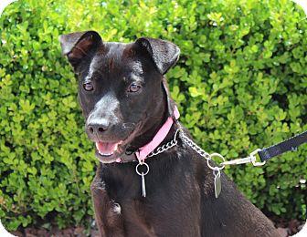 Labrador Retriever/Terrier (Unknown Type, Small) Mix Dog for adoption in Las Vegas, Nevada - JET