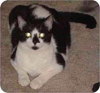 Domestic Mediumhair Cat for adoption in Balto, Maryland - Casino