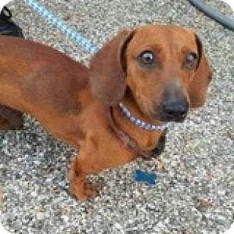 Dachshund Dog for adoption in Houston, Texas - Chet Chaps