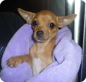 Chihuahua Dog for adoption in Phoenix, Arizona - Betsy
