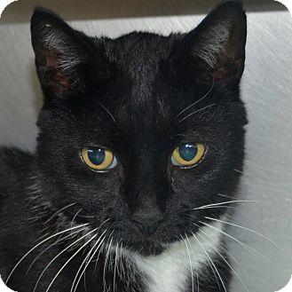 Domestic Shorthair Cat for adoption in Wheaton, Illinois - Lucas