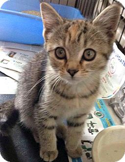 Domestic Shorthair Kitten for adoption in Jefferson, North Carolina - Simone