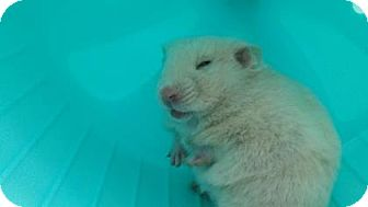 Hamster for adoption in Reisterstown, Maryland - Ms. Frizzle