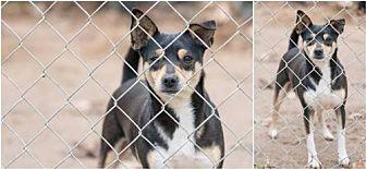 Rat Terrier Mix Dog for adoption in Pipe Creek, Texas - Gordo
