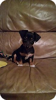 Chihuahua/Dachshund Mix Puppy for adoption in Great Falls, Virginia - Valentine