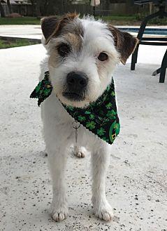 Jack Russell Terrier Dog for adoption in Austin, Texas - Elvis in Austin