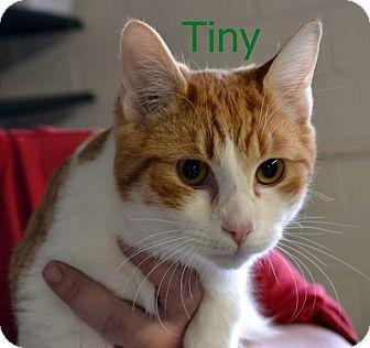 Domestic Shorthair Kitten for adoption in Las Vegas, Nevada - Tiny