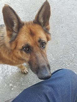 German Shepherd Dog Dog for adoption in Los Angeles, California - RIGO