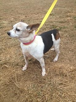 Jack Russell Terrier Mix Dog for adoption in Columbia, Tennessee - Tabitha