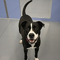 Adopt A Pet :: Gambit - Winter Haven, FL