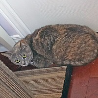 Domestic Shorthair Cat for adoption in Mississauga, Ontario, Ontario - Lona