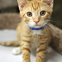 Adopt A Pet :: Tyler T - Fairfax Station, VA
