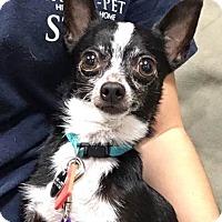 Adopt A Pet :: Tippy - Grayslake, IL