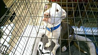 American Pit Bull Terrier Dog for adoption in Dickinson, Texas - Bronx