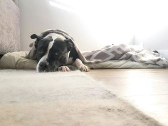 American Staffordshire Terrier Mix Dog for adoption in Wantagh, New York - Cookie